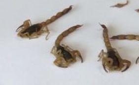 Boca da Mata e Pirajá lideram índices de infestação de escorpiões em Salvador