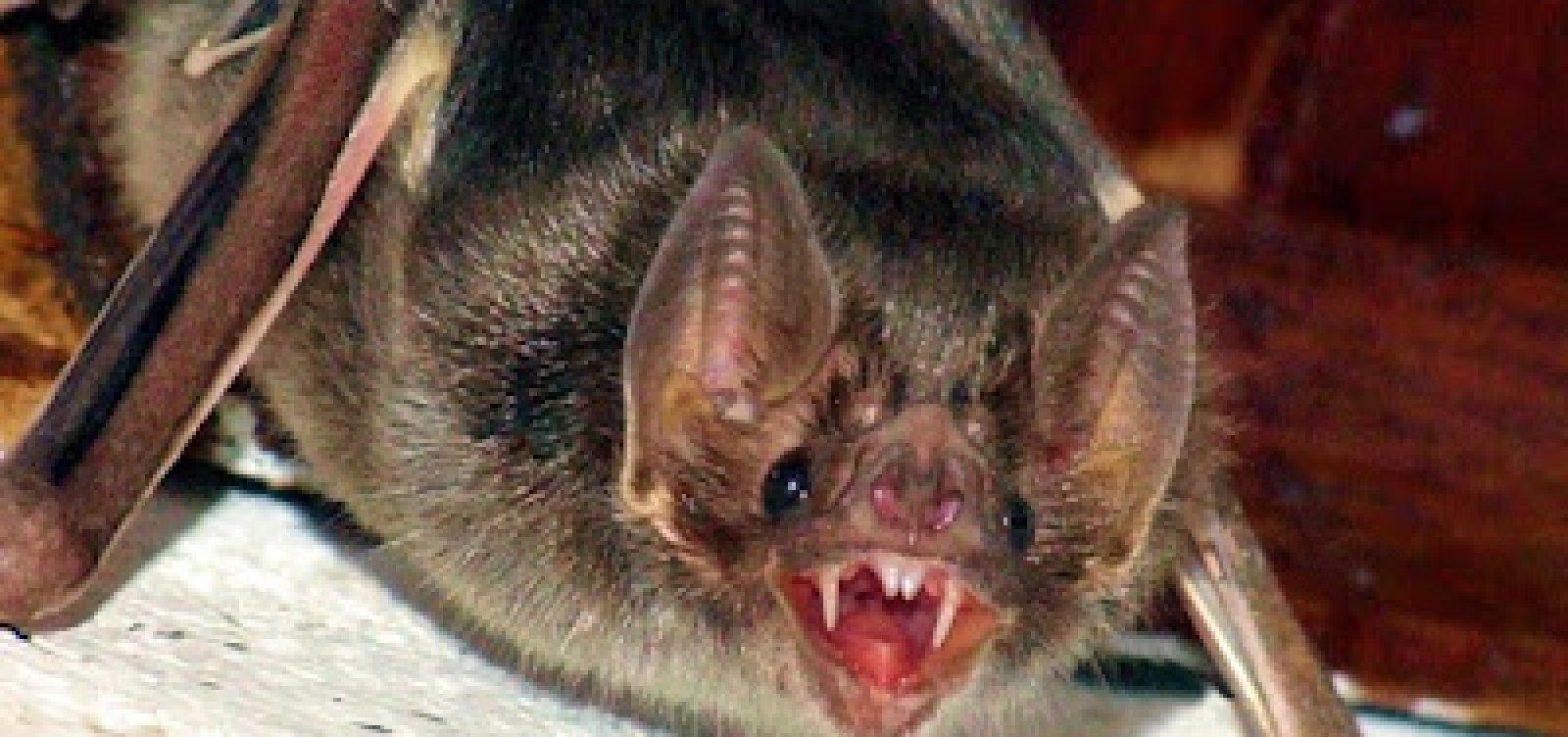 Pesquisadores encontram novos vírus em morcegos no sudoeste asiático