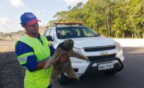 Bicho preguiça é resgatado na BA-093, em Simões Filho