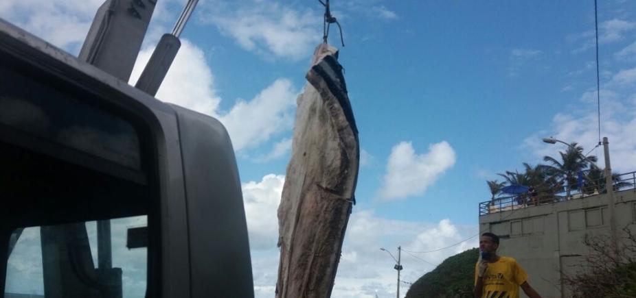 Baleia encalhada em Ondina começa a ser removida pela Limpurb; ação deve ser concluída em até 5 dias