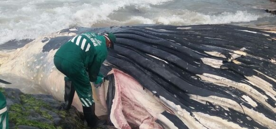 Carcaça de baleia encontrada morta em Ondina ainda não foi totalmente removida; mar agitado dificulta ação