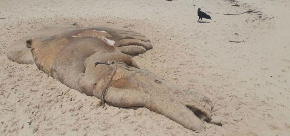 Carcaça de baleia é encontrada em praia do município de Prado
