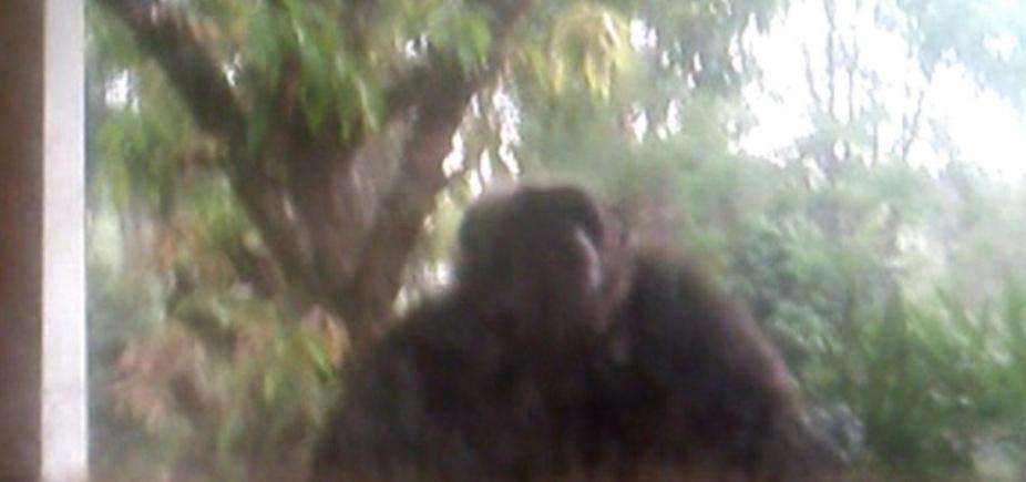 Chimpanzé arromba porta de casa e assusta moradores após fugir de santuário