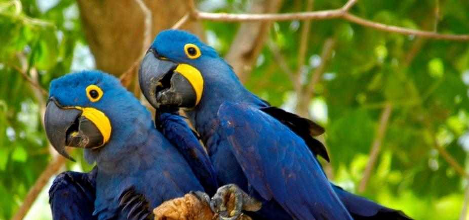 Espécie rara de araras será solta na Bahia