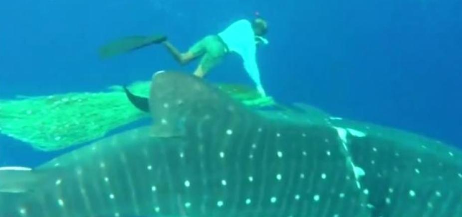 Mergulhadores libertam tubarão-baleia enroscado em rede de pesca em Itapuã