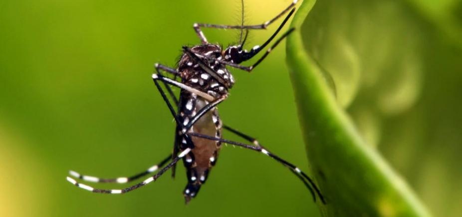 UFMG desenvolve primeira vacina contra Aedes aegypti, dizem pesquisadores