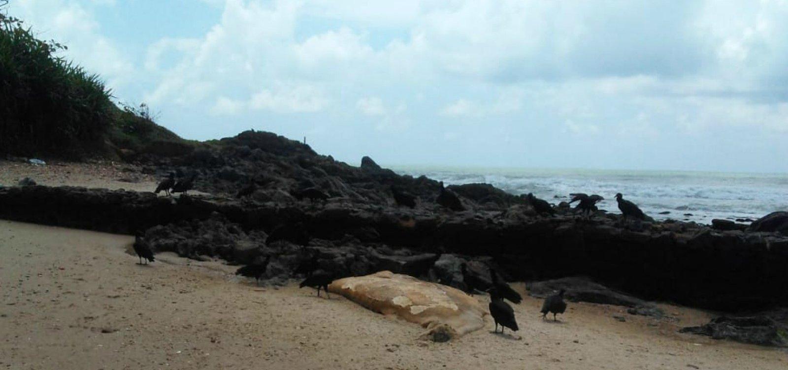 Filhote de baleia jubarte é encontrado morto em Ilhéus