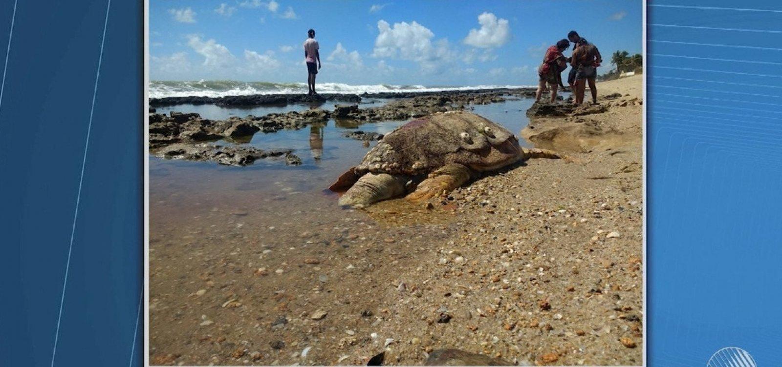 Mais de 100 tartarugas são encontradas mortas na Bahia este ano