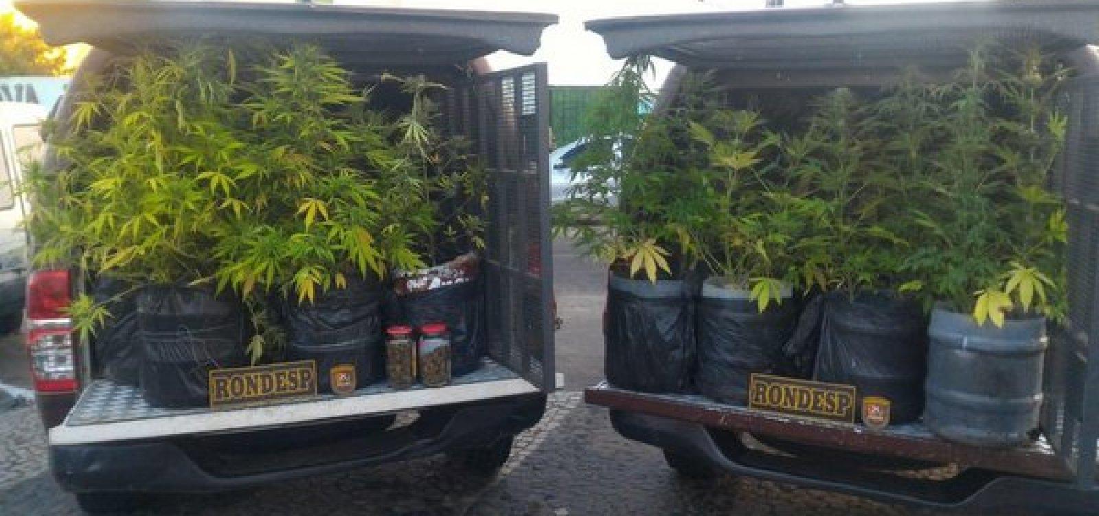 PM apreende plantação de maconha em Vitória da Conquista