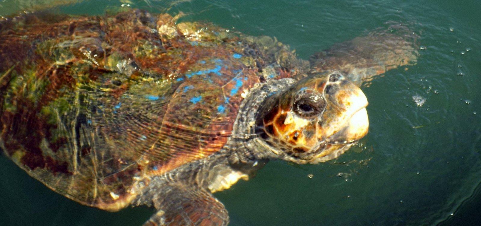 Tartaruga é resgatada de rede de pesca em Ilhéus
