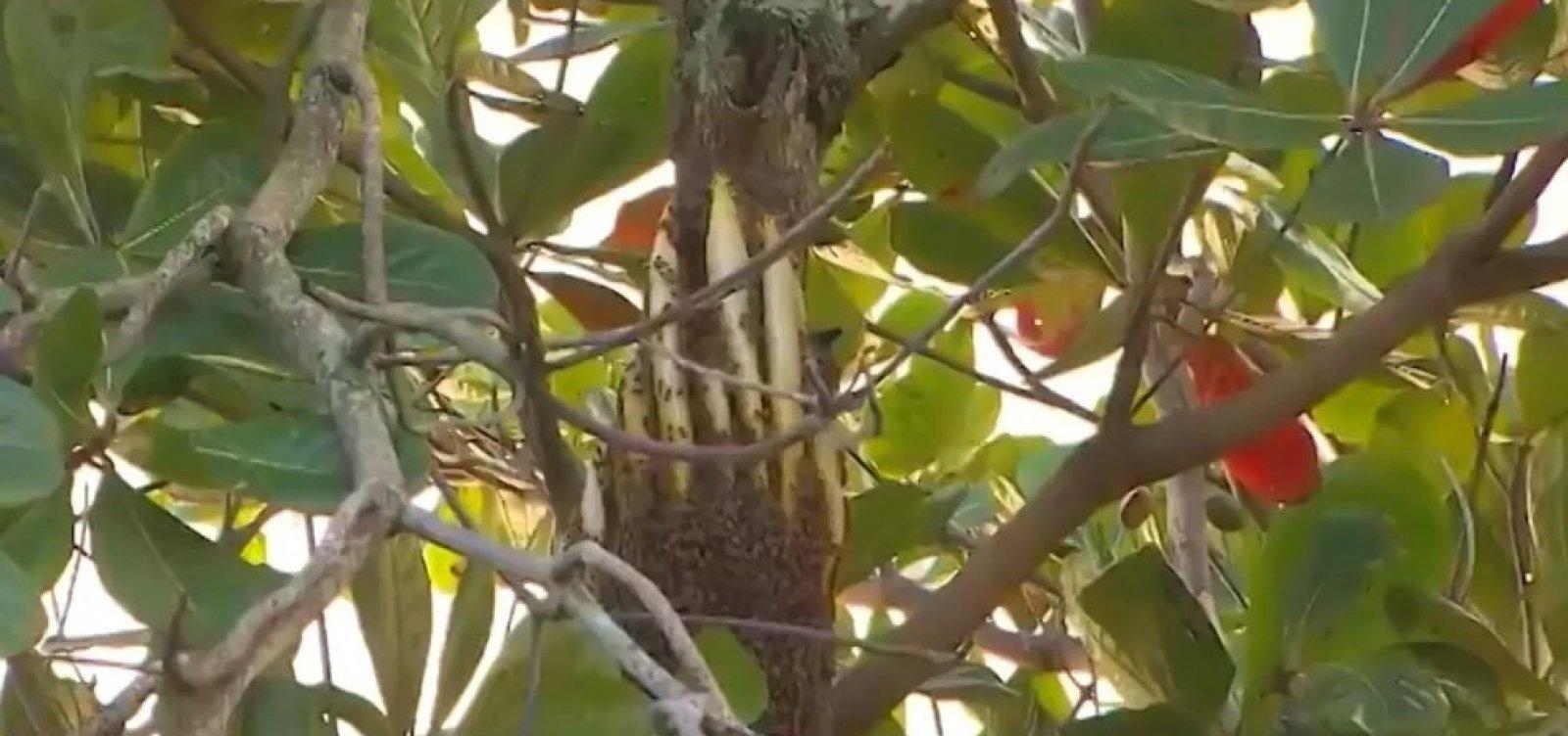 Moradores de Águas Claras se queixam de colmeia e relatam ataques de abelhas