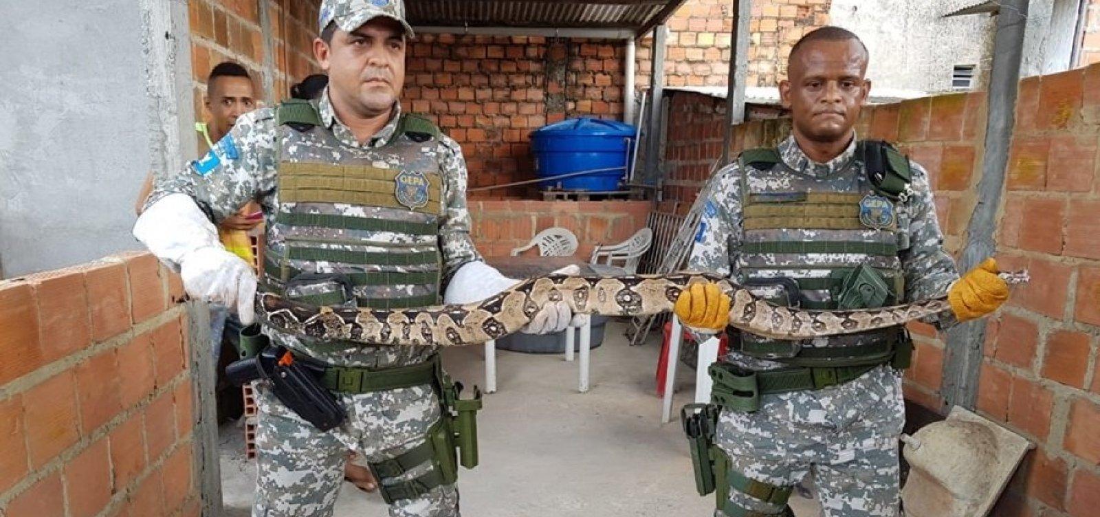 Guarda Municipal resgata jiboia de dois metros em Cosme de Farias