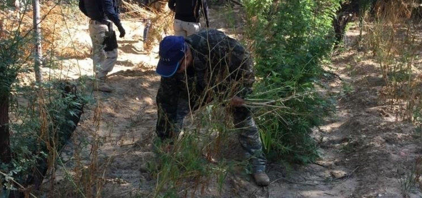 1400 pés de maconha são erradicados na zona rural de Juazeiro