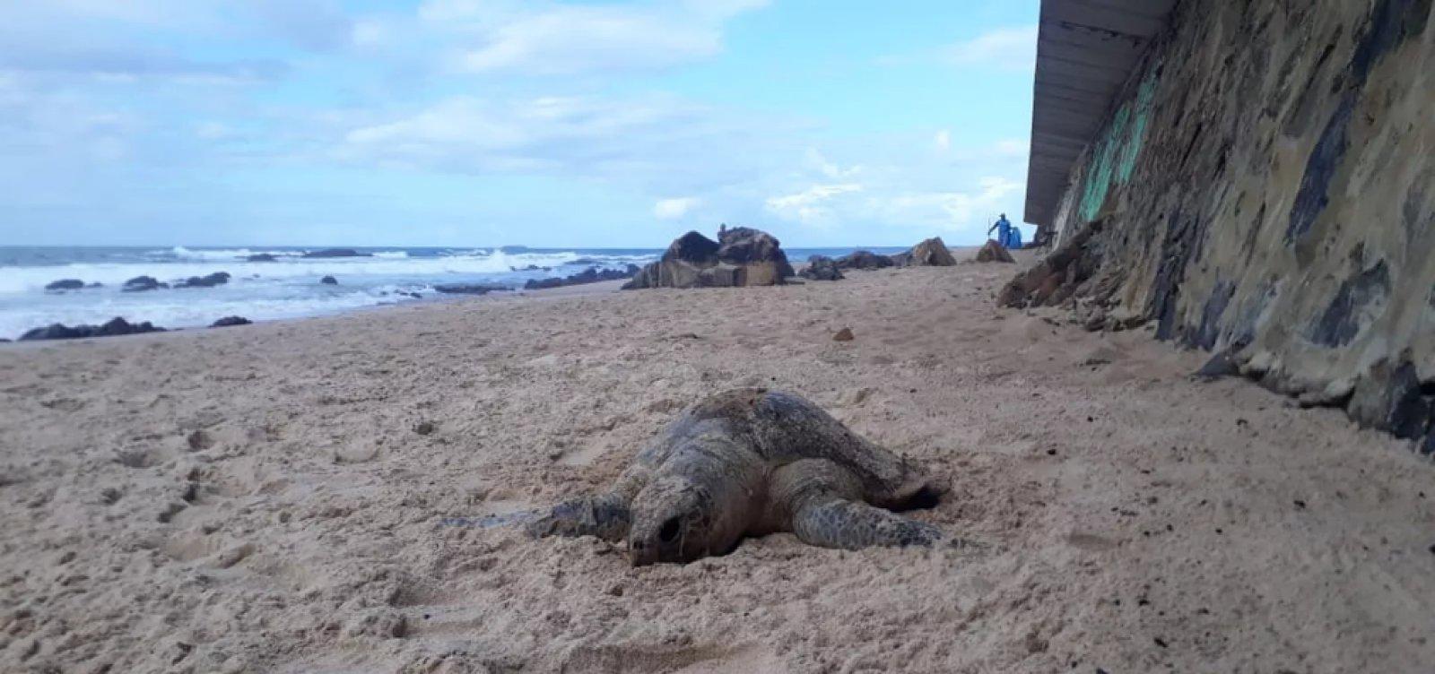 Tartaruga é encontrada morta na praia de Ondina