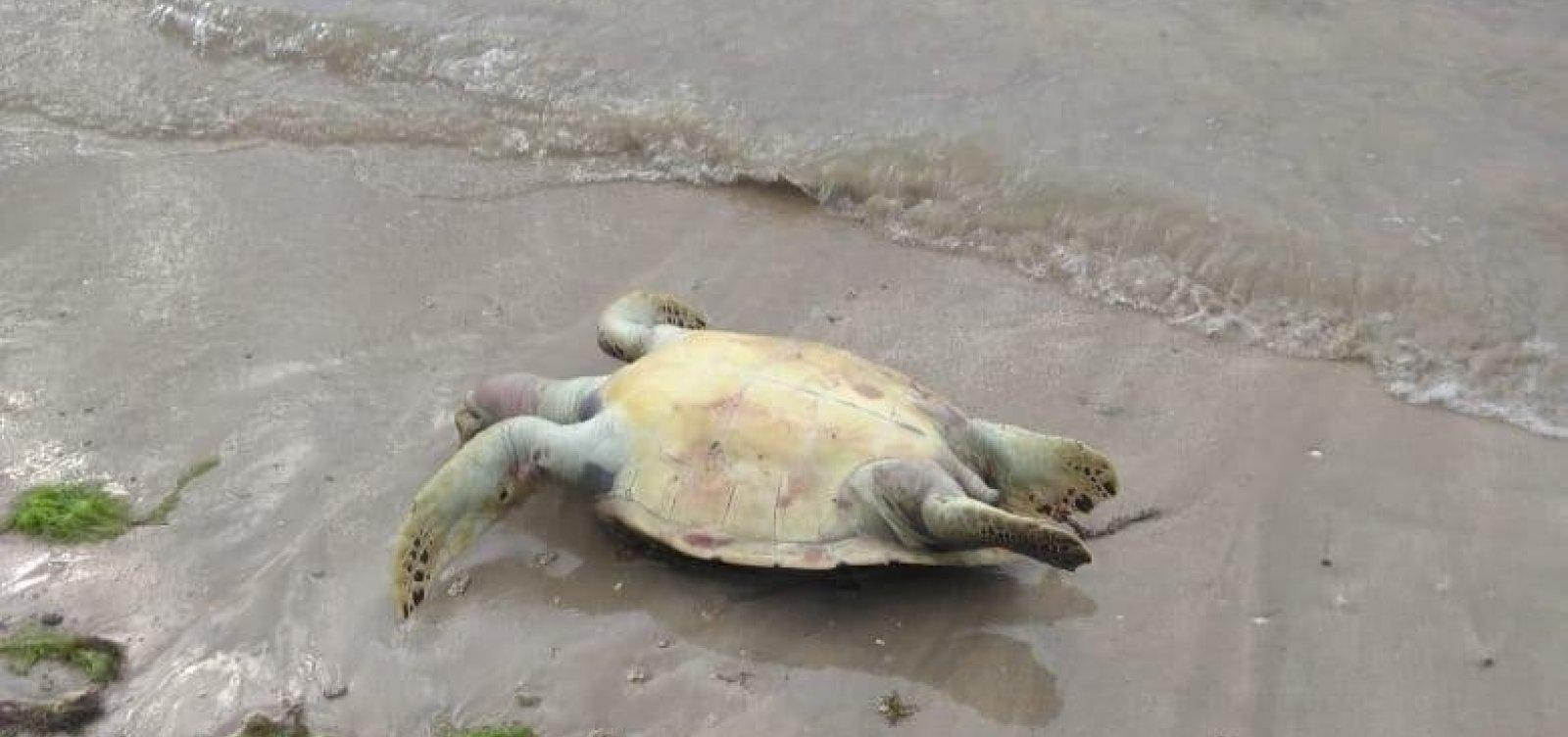 Em 11 dias, oito tartarugas mortas são localizadas na Ilha de Itaparica