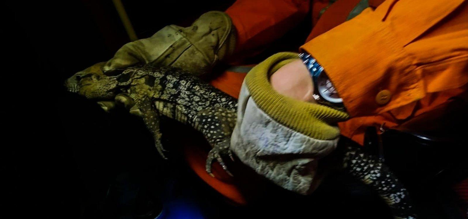 Teiú aparece debaixo de carro e é resgatado por bombeiros