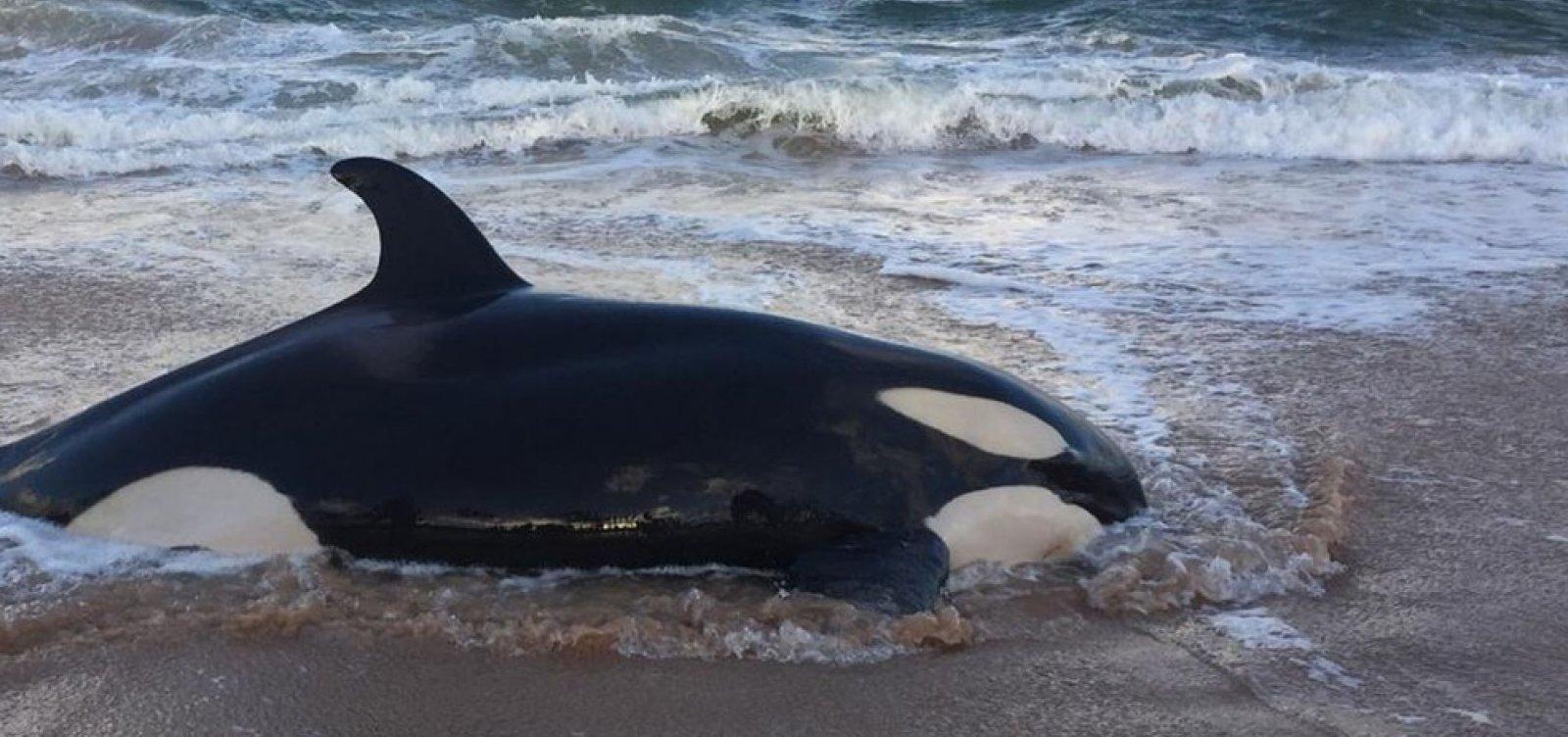 Baleia orca que encalhou em Guarajuba é sacrificada